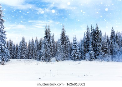 Spruce forest in winter. Falling snow in the winter forest