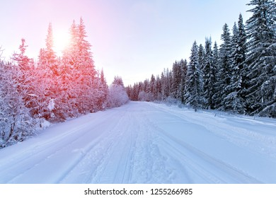 Spruce forest in winter. Sunset