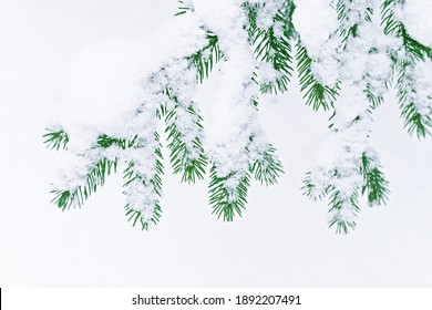 spruce green branch in winter in snow on white