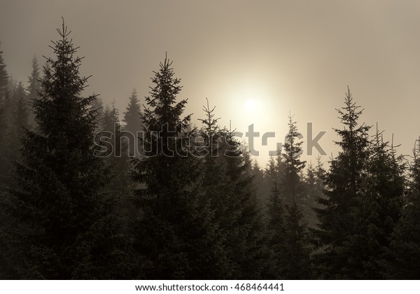 Spruce in the mist, the silhouette of trees after rain