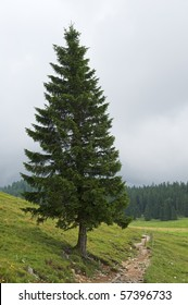 """A spruce """"Picea abies"""" in Bavaria"""