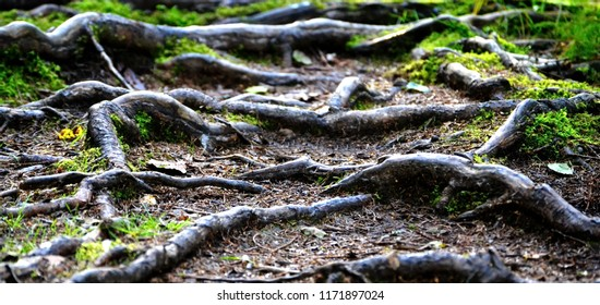 Spruce, Picea abies roots along a forest path, walk carefully, watch your steps, do not stumble