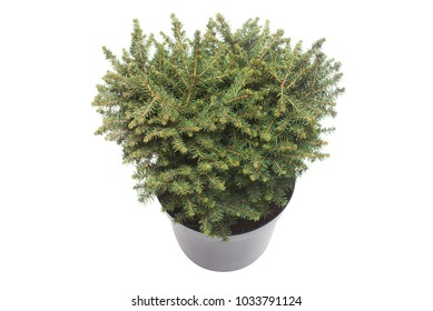Spruce Picea Omorika Karel in a pot isolated on white background. Conifers. Christmas tree. New Year
