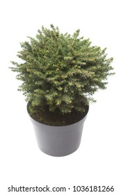 Spruce Picea Omorika Karel in a pot isolated on white background.