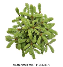 Spruce picea pungens glauca globosa isolated on white background. Conifers. Christmas tree. New Year. Flat lay, top view