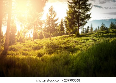 Spruce, pine trees forest glade with sunset in Poland.