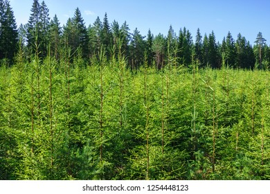 Spruce plantation in a woodland in the summer