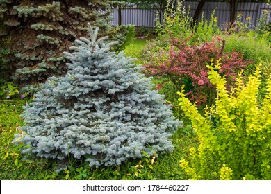 spruce prickly glauca globosa a favorite of landscape designers HOMESTEAD plot