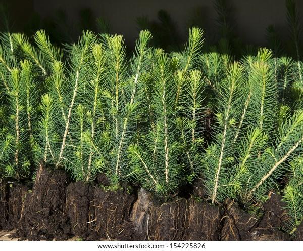 Spruce seedlings