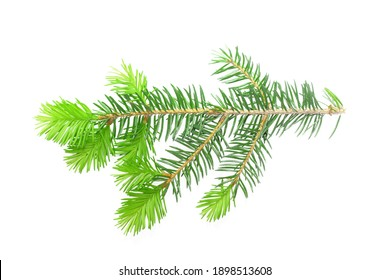 spruce in the spring isolated on white