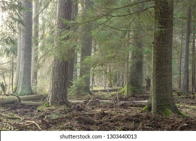 Spruce stand of Bialowieza Forest in morning with pine and spruce, Bialowieza Forest, Poland, Europe