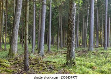 Spruce tree in Bialowieza Forest, Bialowieza Forest, Poland, Europe