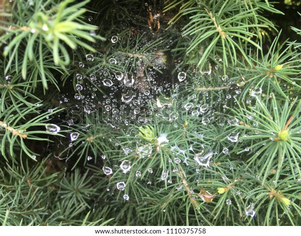 The Spruce tree closeup. Green spruce branch background. Web throught the sprice branches. Web with raindrops. Raindrops background. Raindrops closeup on the web. Wet web baclground. Drops baclground.