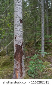 Spruce tree damaged by spruce bark beetles