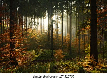 Spruce Tree Forest in Autumn Backlit by the Setting Sun