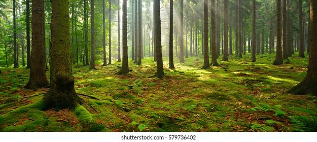 Laubwald, Sonnenbäume durch Nebel, die Moos und Waldböden beleuchten und eine mystische Atmosphäre schaffen