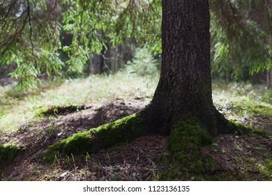 Spruce tree in forest sunlight