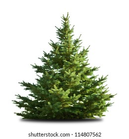 spruce tree isolated on white