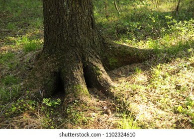 spruce tree roots in the spring forest among green grass and sun light