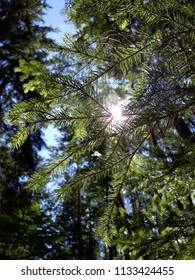 spruce tree and sunlight