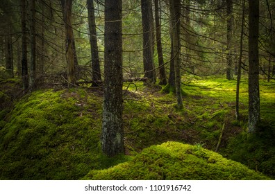 spruce tree trunks inside of the forest