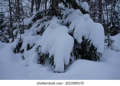 Spruce tree under Snow