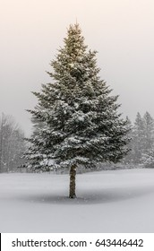 Spruce Tree in Winter Snow Storm with Sunshine