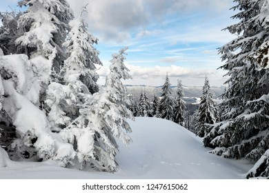 Spruce trees covered by snow in the mountains. Christmas scene