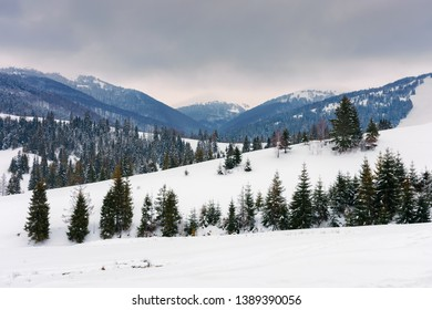 spruce trees on snowy hillside in mountains. beautiful winter countryside scenery on an overcast day