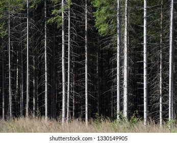 Spruce trees texture background image. Summer landscape with majestic trees in a row. Lodja, Estonia.