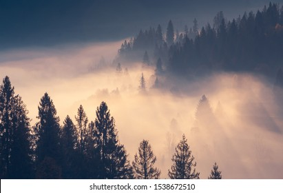 Spruce trees through the morning fog in light rays on mountain top at autumn foggy sunrise.