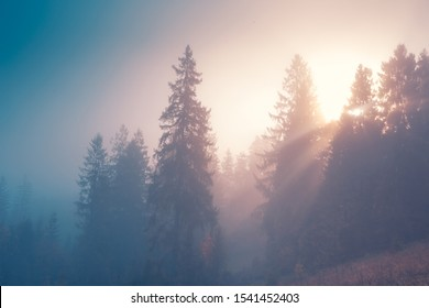 Spruce trees through the morning fog in light rays. Mountain hill forest at autumn foggy sunrise.
