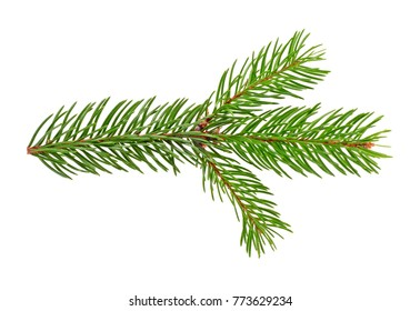 Spruce twig. Branch of christmas tree isolated on white background.