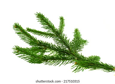 spruce twig on white background