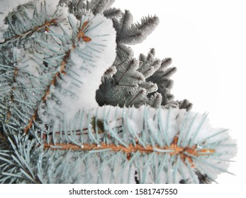 Spruce twigs with white snow