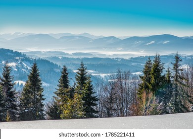 Spruce winter forest overlooking the mountains. Beautiful winter nature. Carpathian Mountains in the background.