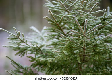 Spruce in a wintry Sweden.
