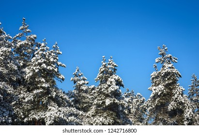 Spruces covered with hoarfrost and snow. Winter forest