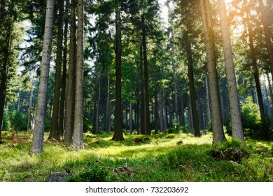 Spruces growing in evergreen coniferous forest in Owl Mountains (Gory Sowie) Landscape Park, Sudetes, south-west Poland. Tall Norway spruce picea abies trees backlit by the sun in woodland.