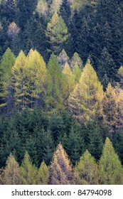 Spruces  (Picea abies) and larches (Larix decidua)  forest in spring. Valleve, Valle Brembana, Italy.