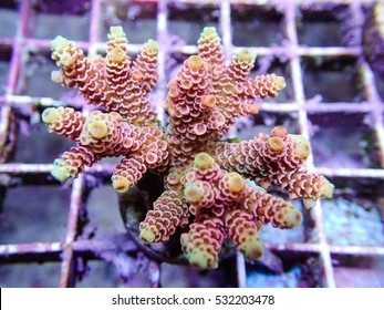 SPS Coral Pink Hard Coral in Farm, sps frag, small sps, small coral, Acropora coral closeup
