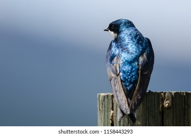 Spunky Little Tree Swallow Perched atop a Weathered Wooden Post