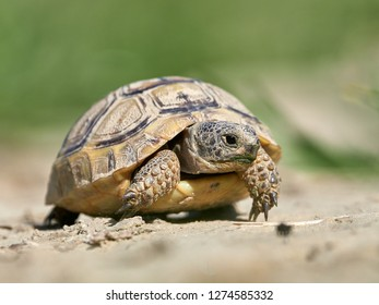 Spur thighed turtle (Testudo graeca) in natural habitat