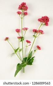 Spur Valerian botanical board