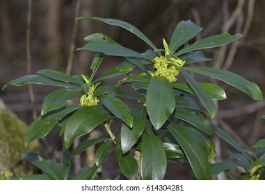 Spurge Laurel - Daphne laureola, in Cotswold woodland