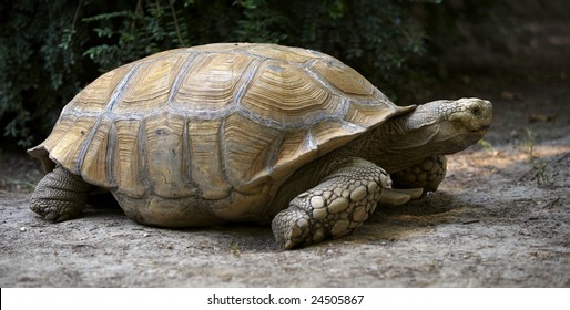 Spurred terrestrial giant turtle on a ground in a zoo