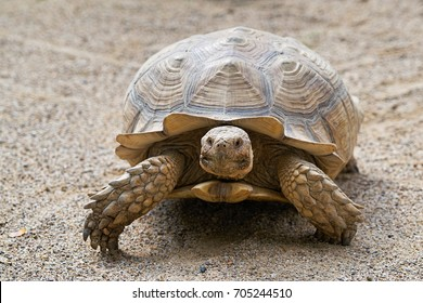 Spurred Tortoise in the sand