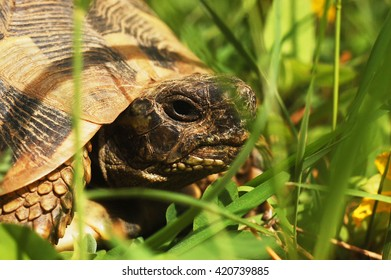 Spur-thighed tortoise (Testudo graeca) in the grass