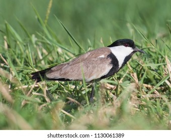 Spur-winged lapwing plover Vanellus spinosus wild bird stood on river bank marshland with grass reeds in foreground