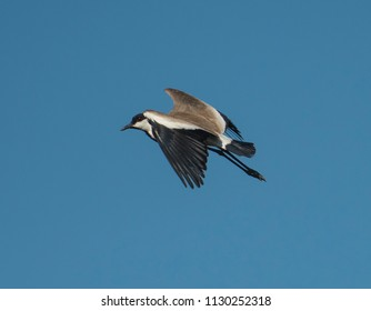 Spur-winged lapwing plover Vanellus spinosus wild bird in flight